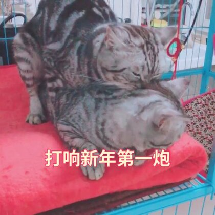 朋友寄养的三只猫真是刷新了我的想象力……亲兄弟俩轮番上阵打响新年第一炮!亲爸爸冷眼旁观无动于衷!#新年快乐##喵星人##宠物#