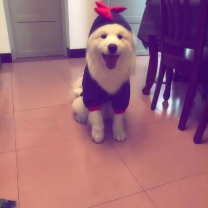 #宠物##萨摩耶#🔅summer🔅新年第一天,狗子来拜年……