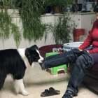 李昂帮妈妈脱裤子,厉害了!#宠物##家有边牧##边牧日常#