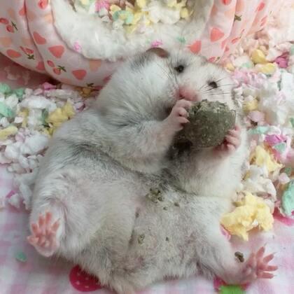 #宠物##独特萌宠##仓鼠#你是猪吗?!