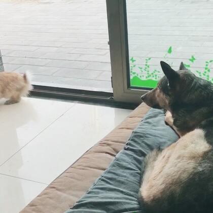 兔子又去追猫了,真是好气啊!#宠物#(请注意狗子的嘴巴一鼓一鼓的)