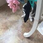 #宠物#路过看到一只喵拽着粑粑的袜子搓脸呢😆🤣😂……#那些成精的宠物#