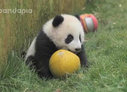 #萌团子日常##大话熊猫#欢迎大家欣赏小馨宝宝的个熊show😍