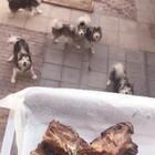 #宠物##汪星人#半个多月了没切了,下料下小了,又便宜我家狗子们了