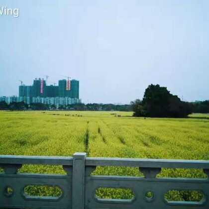 #隨性##旅行日记#20180220橋头油菜花田#
