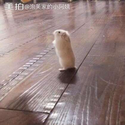 泡芙-吃口吃的真不容易#搞笑##寵物##仓鼠#