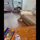 家里大棉花糖教小棉花糖跳上沙发。小家伙很努力,但好急好气啊,我就是上不去啊#全球搞笑精选#