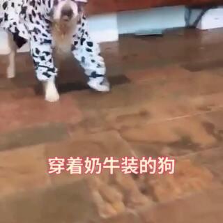 #宠物狗狗##狗年旺旺旺旺##宠物狗狗#