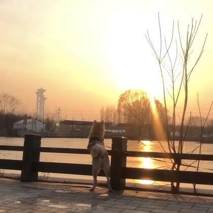夕阳无限好 只是近黄昏 看见我在哪里了吗#宠物##秋田犬##我要上热门@美拍小助手#