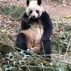 一堆堆的吃货,太讨人喜了😄#熊猫#
