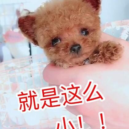 #爱宠任我揉#超级卡哇伊的茶杯泰迪#宠物#@美拍小助手