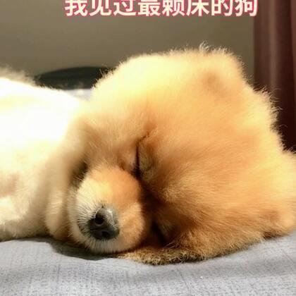 没有之一的赖床狗#宠物##博美##萌宠#