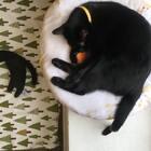 timi:我们黑猫,睡姿其实都是统一的哦!大家准备睡了吗,晚安喵~#宠物##timo#