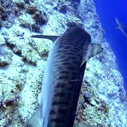 五一马代深南住岛看虎鲨召集中#水肺潜水##虎鲨##马尔代夫#