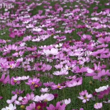 送给幸福##美丽的花##友谊和花香一样,还是淡一点的比较好,越淡的香气越使人依恋,也越能持久。——席慕容