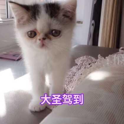 #宠物##猫咪##加菲猫#大圣的日常,一只爱坐着睡觉的猫,可能是因为没有安全感吧。要不就趴我肚子上应该是软乎躺着舒服还热乎吧。其实我挺忙的,每天都不能陪它,晚上回来看到它追着我,就呆着我身边感觉很幸福,不养宠物不知道这种感觉。养宠物会上瘾的,跟养宝宝一样。