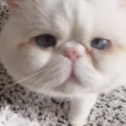 #宠物#自己一口吃光了……然后开始进入磨人精模式😞#加菲猫的幸福生活#