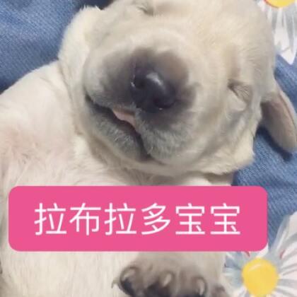 拉到床上侍寝,实在太萌了😘#拉布拉多##狗宝宝##萌宠#