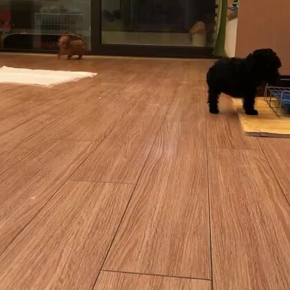 59天的小狗在家做室内定点大小便训练
