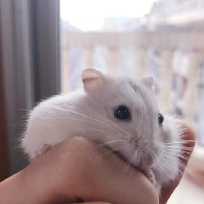刚刚拿上手就开始舔我 别这么会撒娇好吗 都多大的鼠了!#萌宠##布丁仓鼠#