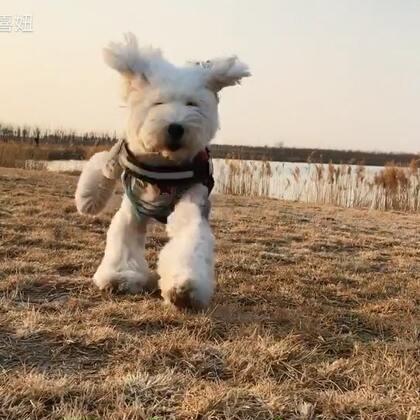 #宠物#四喜可能是大姨妈闹的 一直尿尿尿 走几步就在草上尿😢麦朵第二次跑向我的时候 感觉快撞上了 赶紧错旁边去了😂