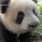 #萌团子陪你过周末##大话熊猫#是谁?是谁在偷看本猪猪?是不是你!是不是你!