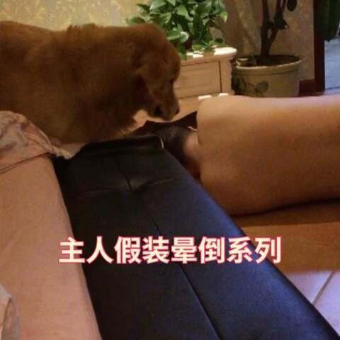 【金毛大款美拍】#宠物#你爸爸真不白疼你啊大款