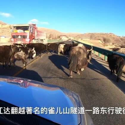317国道上的牦牛?????美摄帅哥川藏线见闻??牦牛被誉为高原之舟,是青藏高原高山草原特有的牛种。在317国道甘孜县生康乡路段,遇到一群不肯让路,对鸣笛充耳不闻的牦牛,车辆跟在牛屁股后40分钟才突出重围!#旅行##宠物#