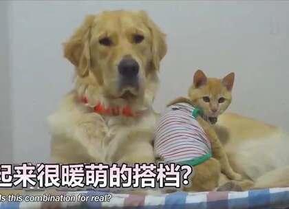 超暖的一对CP!狗狗Benny发现了地板下受困的小猫崽,获救后的小猫就跟Benny成了好朋友。希望它们能永远快乐的在一起😘#宠物##暖心#