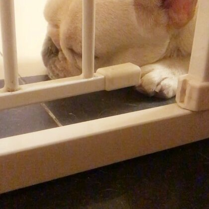 不管多晚都有等门的😭#宠物##法国斗牛犬##我要上热门@美拍小助手#@宠物频道官方账号