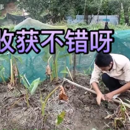 农村小哥锄头一挥,破土而出的那刻,他开心的笑了,满满的收获#我要上热门##美食##农村生活#