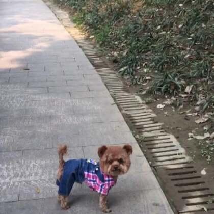 #宠物#✨小石头✨ #聪明宝宝#👍平时在熟悉的地方臭小子一贯都是胸有成竹的勇往直前从不回头照看一下妈咪,没想到来到了陌生的地方傻小子怕自己走丢了,一走一回头看妈咪在后面没,看来傻小子不傻精着呢😄😄