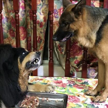#汪星人##宠物#辛巴自己有的不吃非要抢丫头的。看把丫头气成什么样子了?特别是丫头那可爱的眼神。