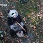 #也就才看二十遍# 熊虽小,梦不能少,青青也有一个武侠梦哦!