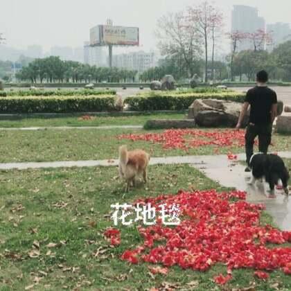 广场遛狗偶遇一只边牧和他主人…#宠物#