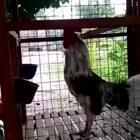 鸡:本来要打鸣的,突然想起个笑话!😂