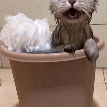 铲屎的、来给朕搓澡#宠物#