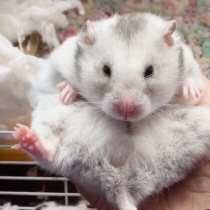 #宠物##仓鼠#徒手抓正在睡梦中的三三!抓出来后一脸蒙逼。