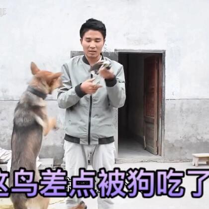农村小伙在自家捡到一只不会飞的鸟,差点被自家的狗狗吃了,太危险了#美食##我要上热门##中华田园犬#