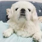 龅牙妹么么哒😘 #宠物#(土豆麻自制宠物零食)http://shop.m.taobao.com/shop/shop_index.htm?spm=0.0.0.0&shop_id=117933639