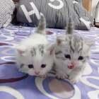 #宠物##萌宠##曼基康矮脚猫#可爱的小短腿