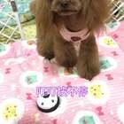 #宠物##汪星人#还知道不能停,继续按叮叮😬😬http://item.taobao.com/item.htm?id=531597067228莎拉麻麻手工宠物零食!