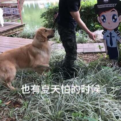 公园里帅帅的卡通头像警察牌子居然把夏天给吓到了…#宠物##金毛#
