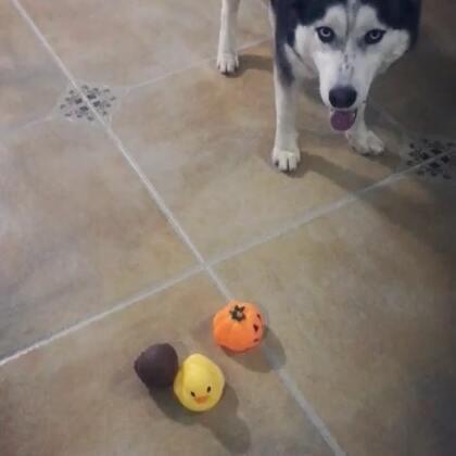 哈哈,get 到了最新遛狗新招式。屁哥:MMP,累死老子了。#哈士奇##二货哈士奇##宠物#