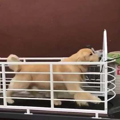 非常漂亮的海润金毛巡回猎犬😍减肥进行时#金毛##大金毛##金毛巡回猎犬#@美拍小助手