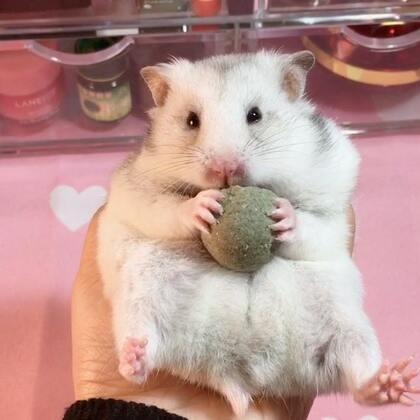 #宠物##独特萌宠##仓鼠#我吃吃吃,不要胖胖胖!