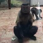 这猴子有点方哈哈哈哈哈哈#全球搞笑精选#
