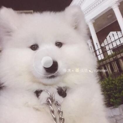 #宠物##萨摩耶#🔅summer🔅仿佛看到summer小时候……
