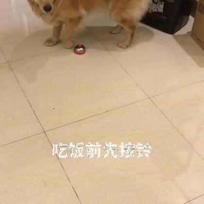 大黄吃狗粮前先按下铃铛…#宠物##训练狗狗##训犬#