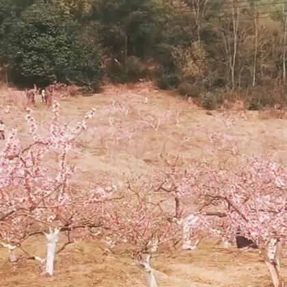 赏花季#桃花朵朵开##我要上热门@美拍小助手#